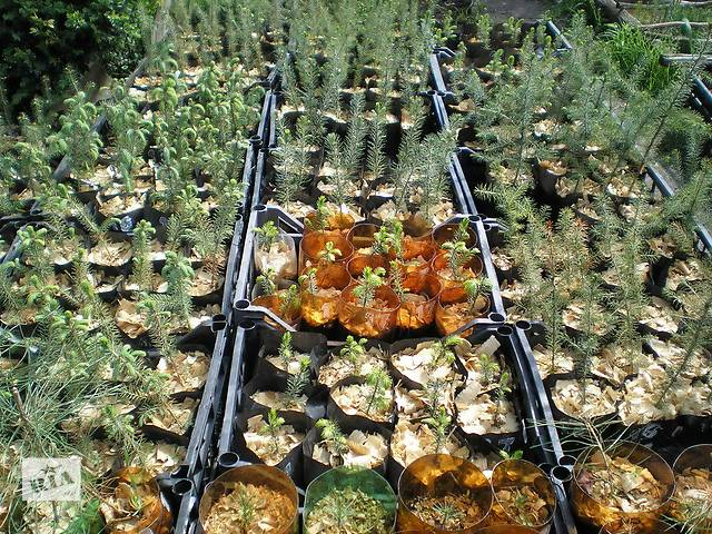 Сосна,ель,пихта,листвинница,магнолия,  рододендрон.- объявление о продаже  в Краматорске