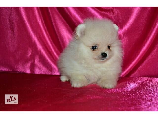 продам Три бело кремовых щенка Померанских Шпица. бу в Днепре (Днепропетровск)