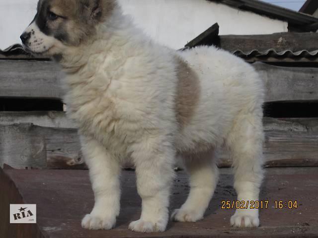 купить бу Цуценята середньоазіатської вівчарки в Ровно