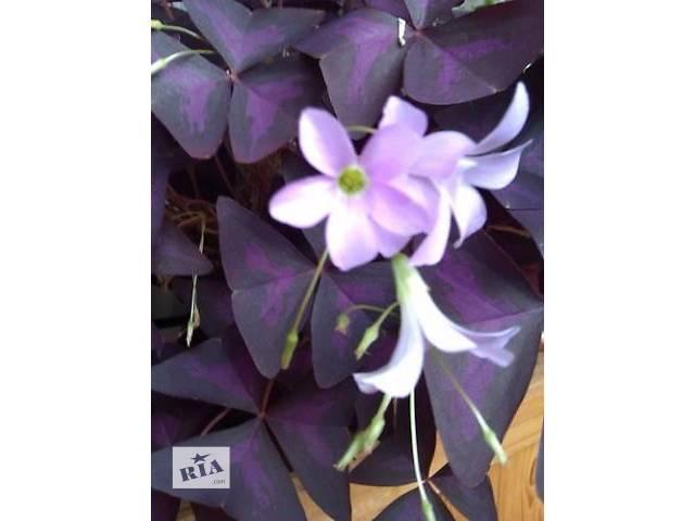 купить бу Цветы кислица фиолетовая в Черкассах