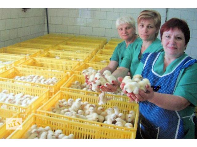 продам Цыплята бройлеры опт/розн. Инкубатор, высшее качество.Днепропетровска область бу в Днепре (Днепропетровск)