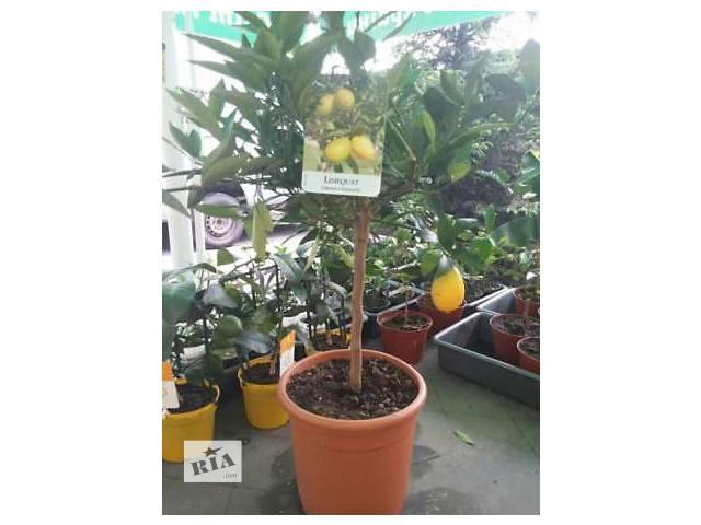 Цитрусовые растения (питомник Exotic Jungle)- объявление о продаже  в Днепре (Днепропетровск)
