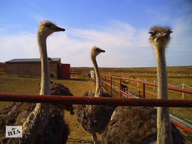 продам Работники на страусиную ферму в Данию  бу  в Украине