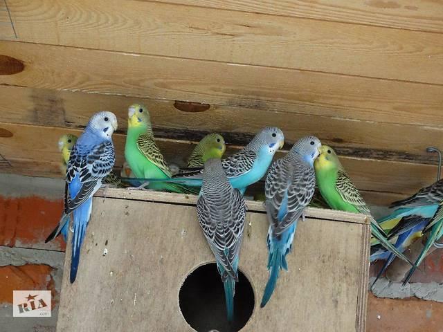 Волнистые попугайчики [ОПТ, розница]- объявление о продаже  в Харькове