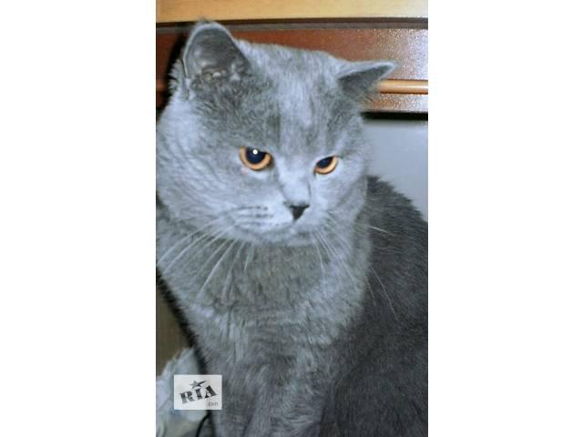 Вязка с британским котом- объявление о продаже  в Киеве