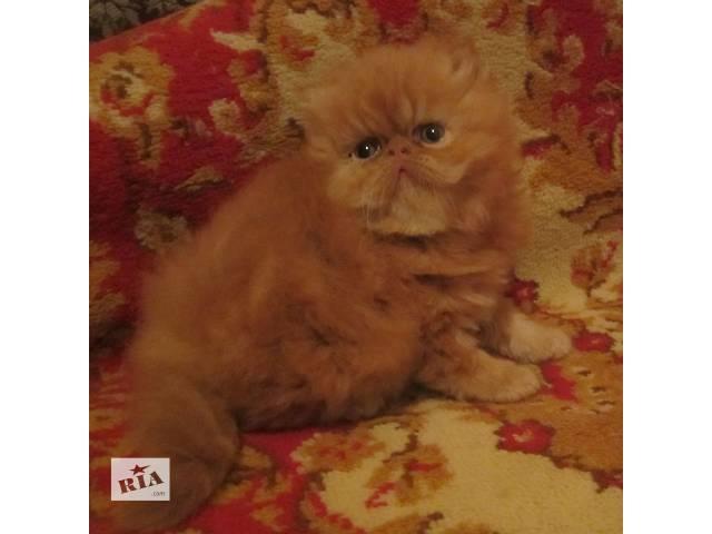 бу Ярко-рыжие персидские котята в Киеве