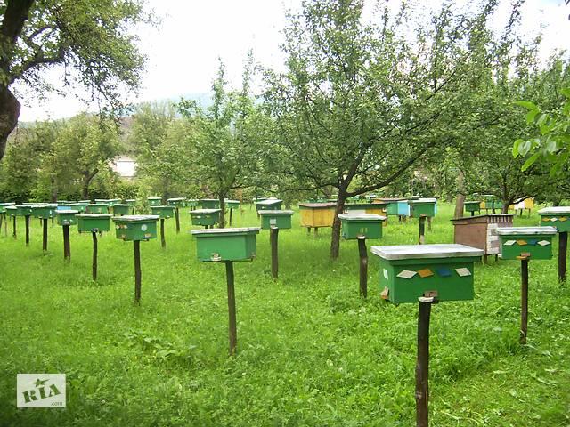 Бджоломатки (пчеломатки) Карпатка типу Синевир 2021- объявление о продаже  в Хусті