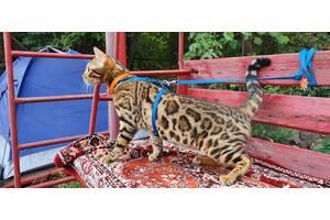 Бенгальские котята, шикарная кошечка, документы WCF,  питомник