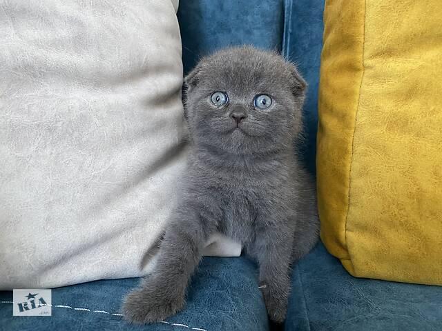 продам Британські кошенята  бу в Коломиї