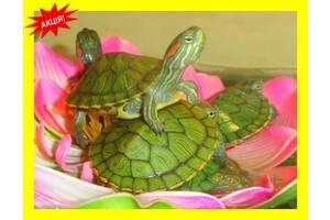 Черепаха червоновухі