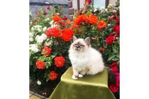 Кошенята Священна Бірма