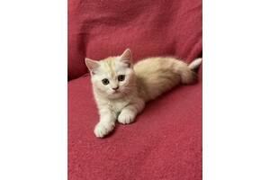 Котик шотландський скоттіш-страйт, 2 місяці