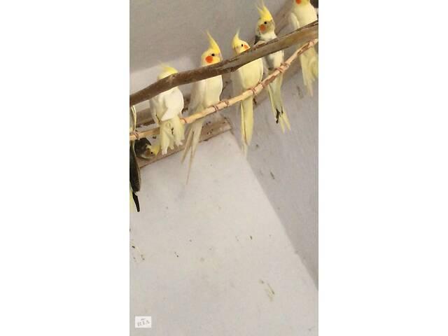 бу Красивые попугаи ,Корелла, все оговариваеться  , по телефону , все вопросы) в Николаеве