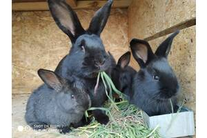 Кролики 1'5-2 месяца