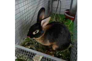 Кролики Чёрно-огненной породы