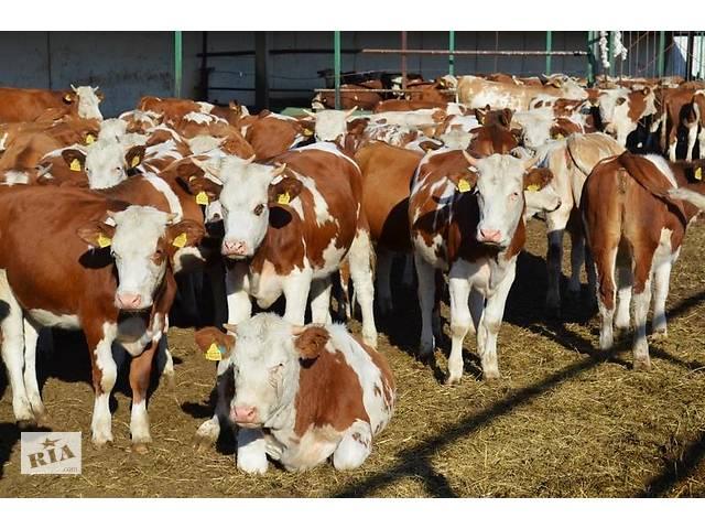 купить бу куплю быков,коров,телок  в Украине