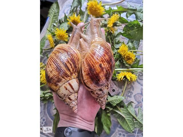 купить бу Очень красивые и изящные,они станут украшением любой коллекции улиток  в Украине