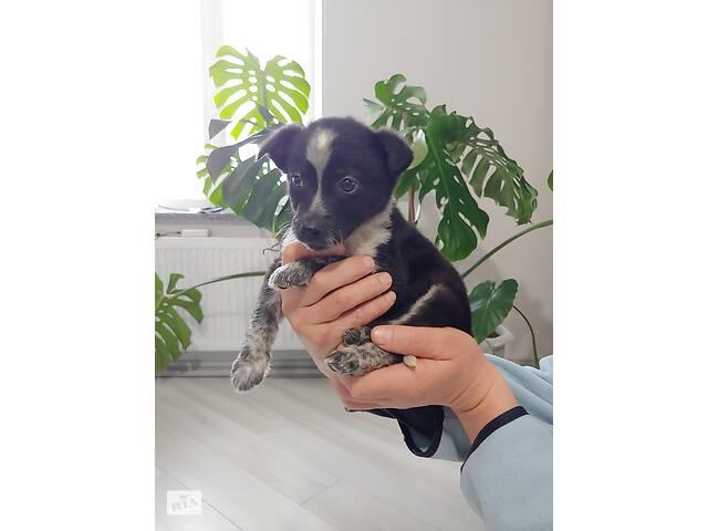 Отдам даром щенка девочку- объявление о продаже   в Украине