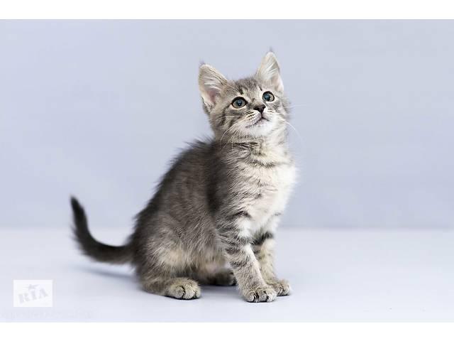 купить бу Отдам в хорошие руки котенка девочку Ханну . в Киеве