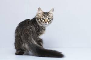Отдам в хорошие руки котика подростка Бриско.