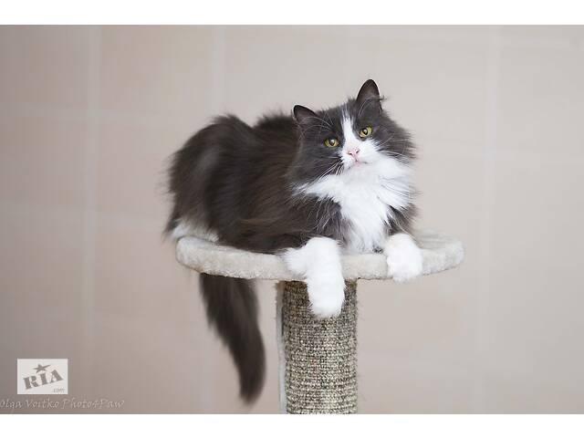Отдам в хорошие руки красавицу кошечку Цею.- объявление о продаже  в Киеве