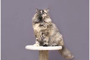 Отдам в хорошие руки прекрасную молодую кошечку Ванессу .