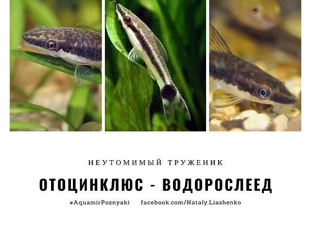 отоцинклюс афинис - объявление о продаже  в Киеве