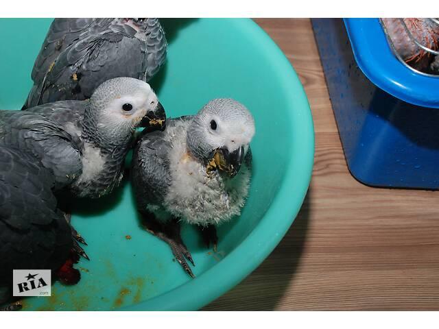 купить бу Папугай Жако - выкормыш  в Киеве