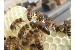 Пчеломатки плодные 2020 Carnica Peshetz Киев