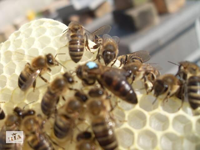 продам Плідні бджоломатки 2020 Carnica Peshetz Київ бу в Києві