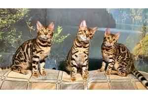 Подрощенные Бенгальские котята, питомник, документы WCF