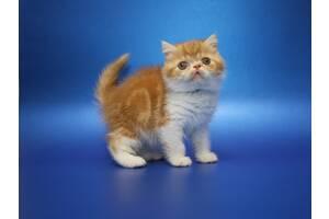 Предлагаем Экзотического котёнка. Мальчик чистокровный, породистый