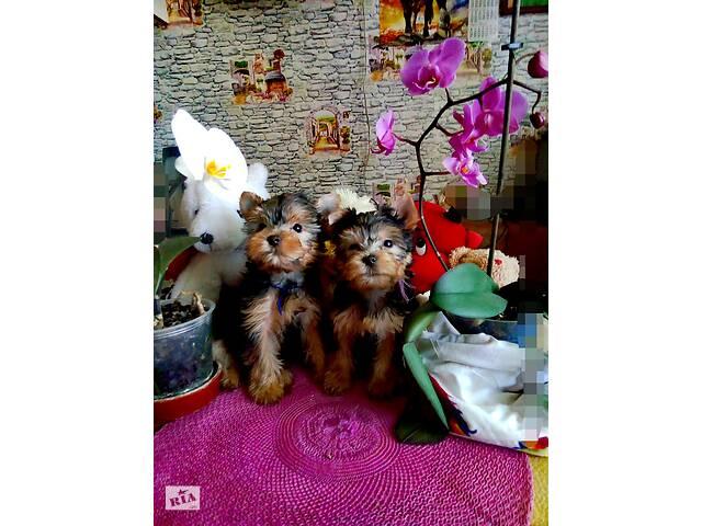 Прекраснейшие , озорные щенки йоркширского терьера- объявление о продаже  в Запорожье