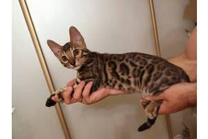 Прекрасный котик (мальчик) Бенгал ищет свою семью!