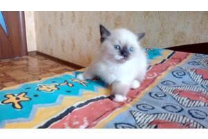 Продается котенок-мальчик блю поинт в г.Славянске