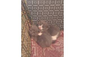 Продам британских котят,  1,5 месячных