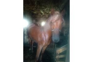 Продам кобилу, вік: 1 рік 3 місяця