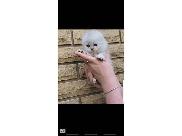 Продам котят серебристая шиншилла- объявление о продаже  в Полтаве