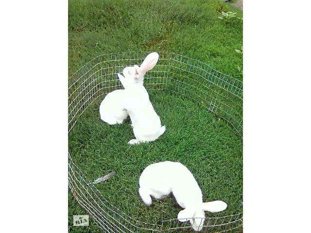 Продам кроликов мясной породы- объявление о продаже  в Лисичанске
