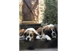 Продам подрощенных щенков Московской сторожевой (Moscow Watchdog) от хороших родителей (оба родителя - наши собаки)