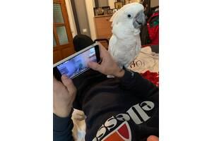 Продам Попугая Какаду Белохохлого
