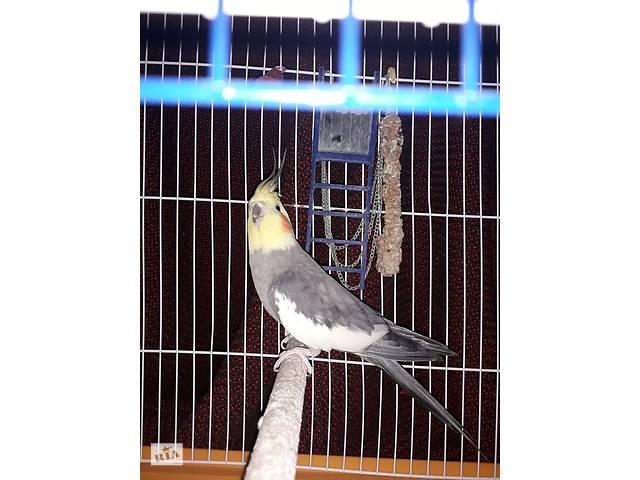 продам Продам попугая  КОРЕЛЛА бу в Виннице
