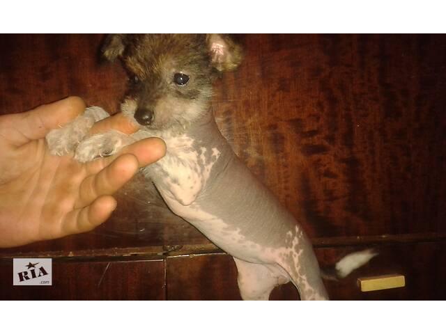 купить бу Продам щенка китайской хохлатой в Чугуеве