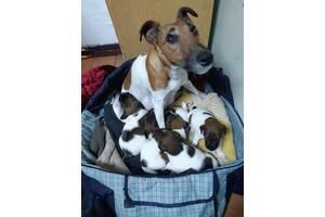 Продам щеня гладкошерстного фокстерєра