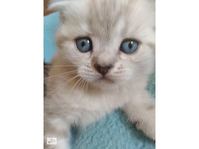 Продам шотландских вислоухих котят- объявление о продаже  в Миколаєві