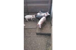 Продам свинок