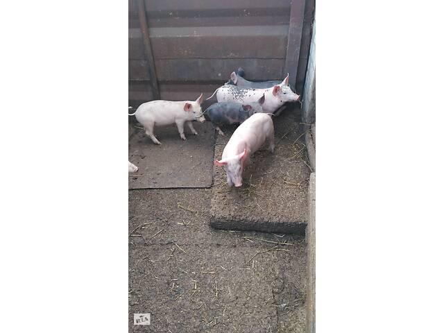 бу Продам свинок в Полтаве