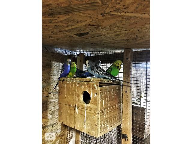 Продам волнистых попугаев оптом и в розницу- объявление о продаже  в Михайловке