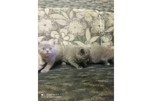 Продаються кошенята