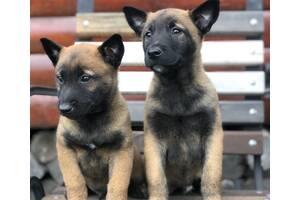 Продаются щенки немецкой овчарки малинуа